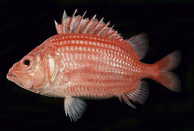 Actinopterygii Fish list in Fiji