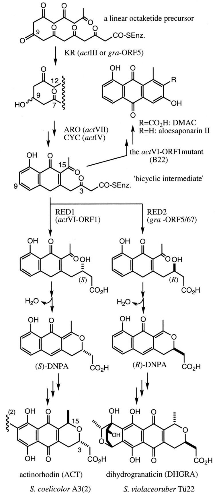 Actinorhodin Functional Complementation of Pyran Ring Formation in Actinorhodin