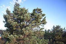 Actinostrobus arenarius httpsuploadwikimediaorgwikipediacommonsthu