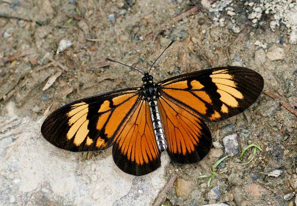 Actinote Butterflies of the Andes Actinote anteas