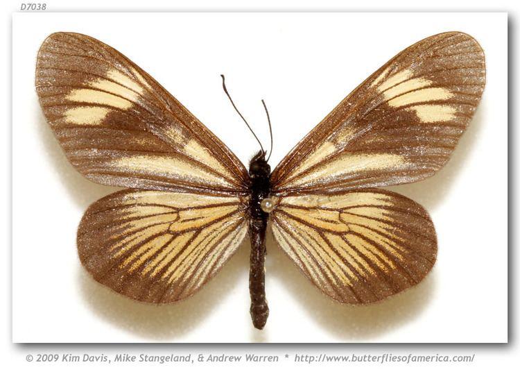 Actinote Actinote g guatemalena pinned specimens
