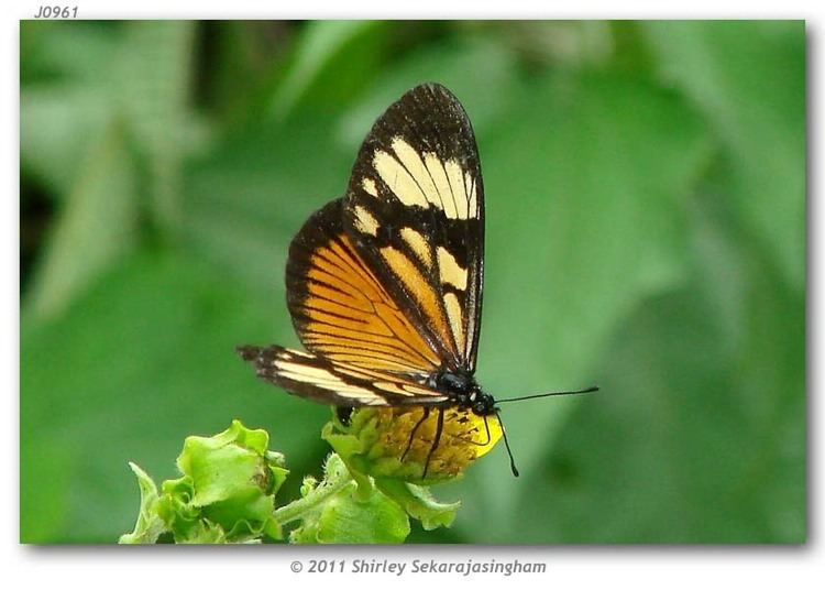 Actinote Actinote anteas Central American segregate live adults