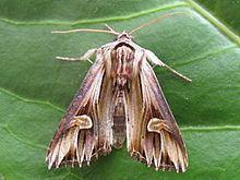 Actinotia polyodon httpsuploadwikimediaorgwikipediacommonsthu