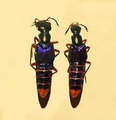 Actinus imperialis httpsuploadwikimediaorgwikipediacommonsthu