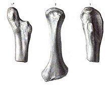 Actiosaurus httpsuploadwikimediaorgwikipediacommonsthu
