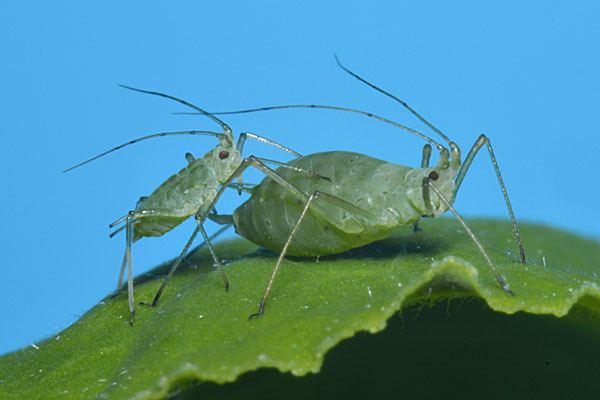 Acyrthosiphon pisum Acyrthosiphon pisum Pea aphid identification images ecology