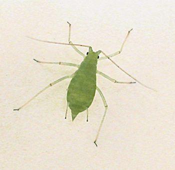 Acyrthosiphon pisum Acyrthosiphon pisum Pea aphid