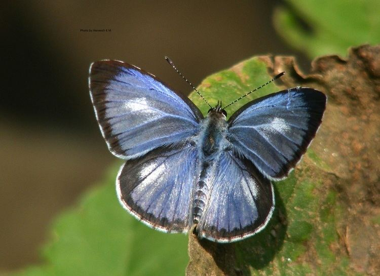 Acytolepis puspa Butterfliesltbrgt Lycaenidae The Blues ltbrgt Subfamily