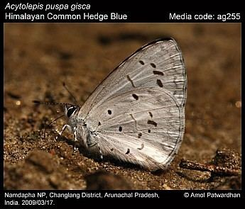 Acytolepis puspa Acytolepis puspa Common Hedge Blue Butterflies of India