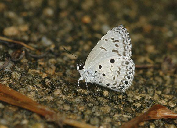 Acytolepis puspa wwwlearnaboutbutterfliescomAcytolepis20puspa2