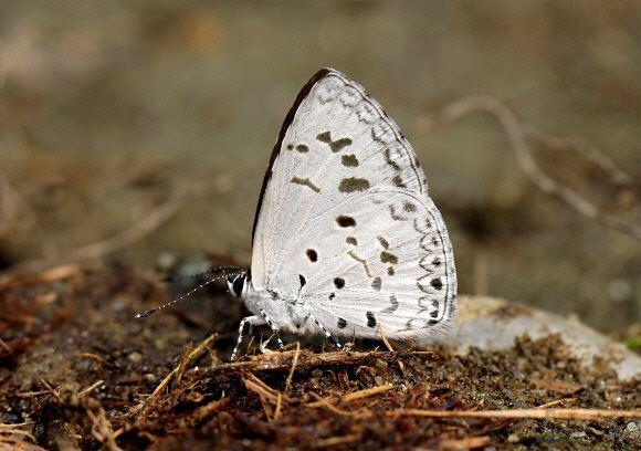 Acytolepis puspa Butterflies of India Acytolepis puspa