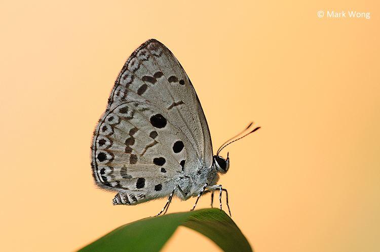 Acytolepis puspa ButterflyCircle Checklist