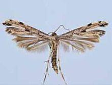 Adaina ambrosiae httpsuploadwikimediaorgwikipediacommonsthu