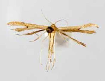 Adaina zephyria