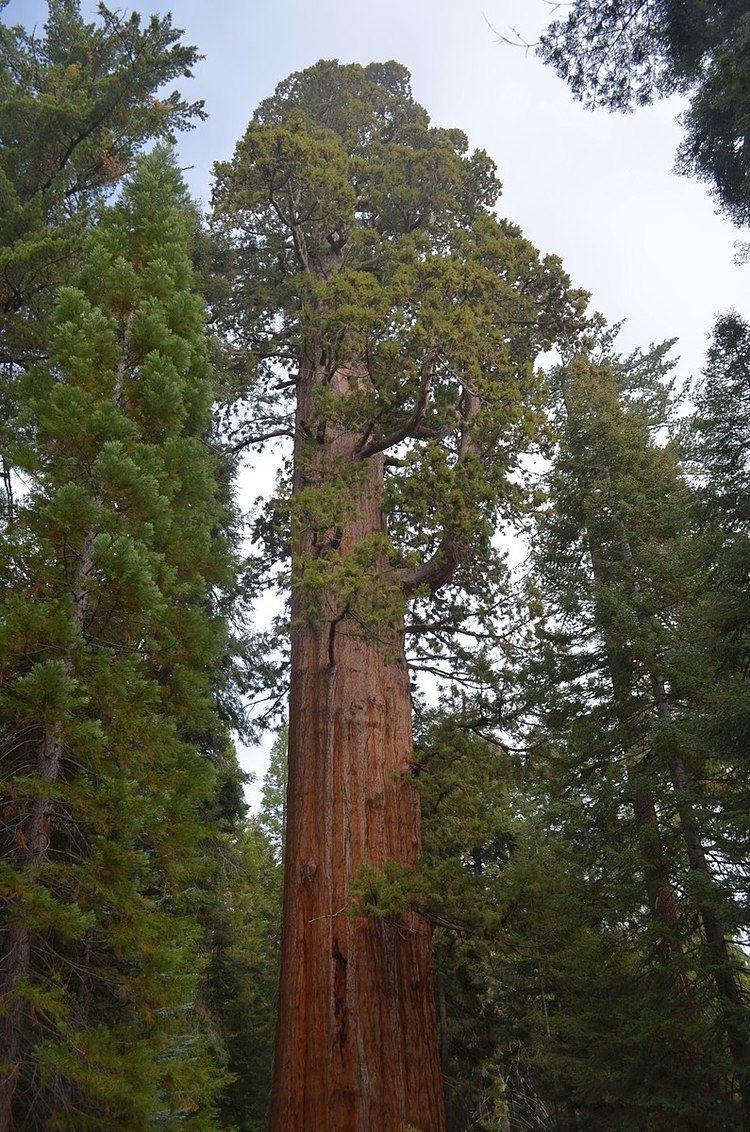 Adam (tree)