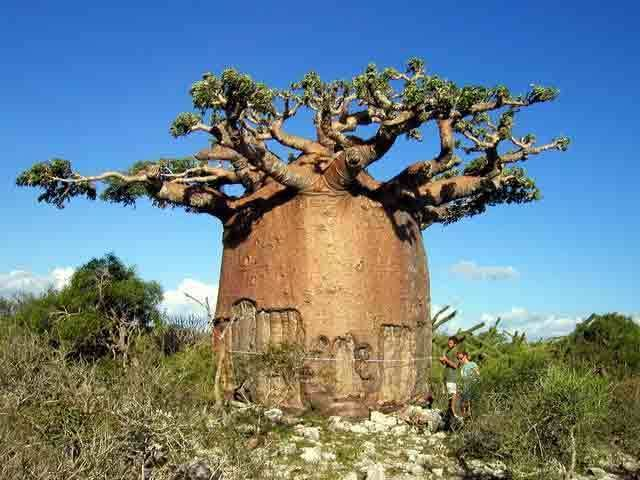 Adansonia The GREAT baobabs of Madagascar Garden Travel Hub