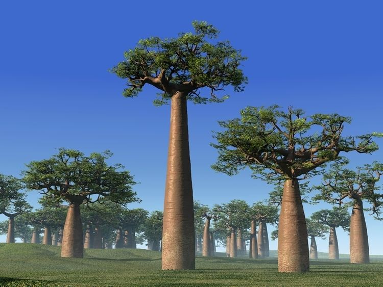 Adansonia Adansonia Grandidieri Bottle Tree