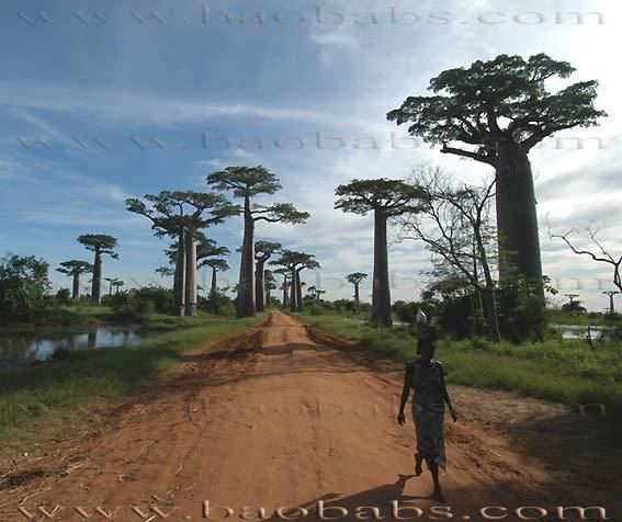 Adansonia 1000 images about Baobabs Adansonia on Pinterest Madagascar