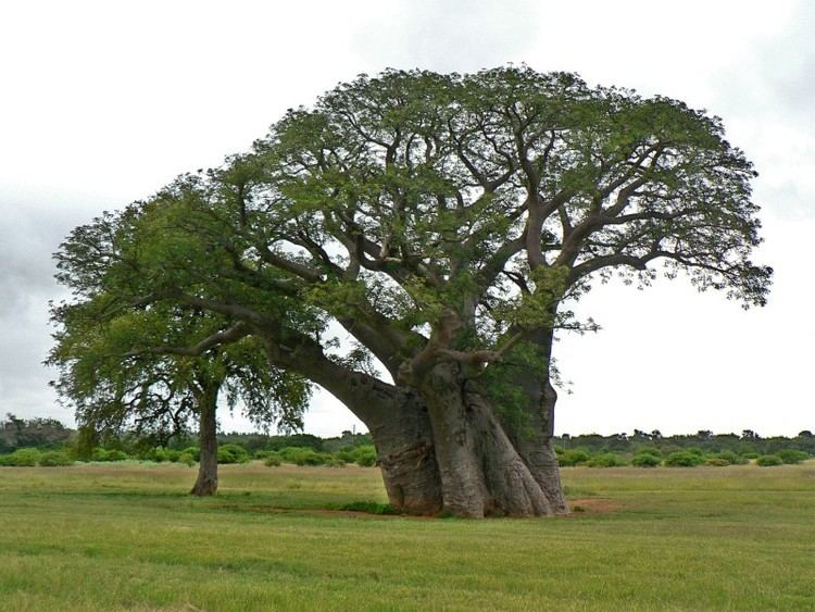 Adansonia digitata Photo Guide to Plants of Southern Africa
