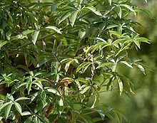 Adansonia digitata httpsuploadwikimediaorgwikipediacommonsthu