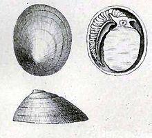 Addisonia excentrica httpsuploadwikimediaorgwikipediacommonsthu
