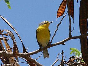 Adelaide's warbler httpsuploadwikimediaorgwikipediacommonsthu