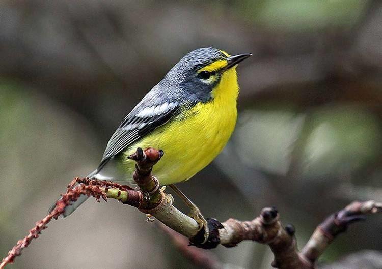 Adelaide's warbler Birding in Puerto Rico