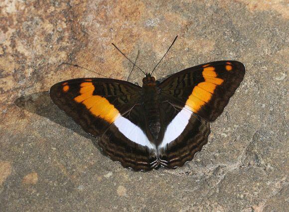 Adelpha Butterflies of Amazonia Adelpha jordani