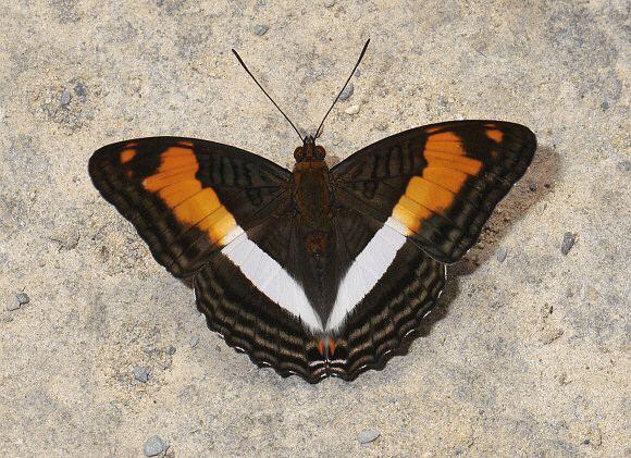 Adelpha wwwlearnaboutbutterfliescomAdelpha20capucinus