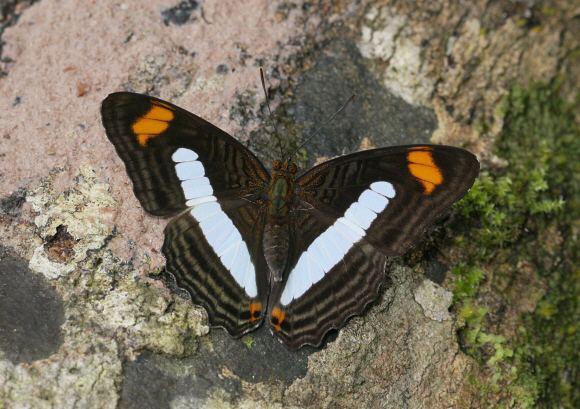 Adelpha Butterflies of Amazonia Adelpha iphiclus