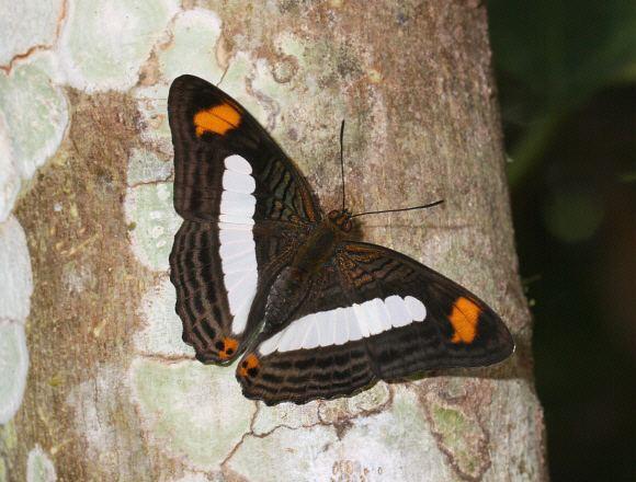 Adelpha iphiclus wwwlearnaboutbutterfliescomAdelpha20iphiclus2