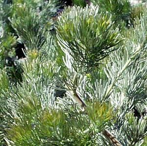 Adenanthos wwwsmgrowerscomimagedbAdenanthossericeusjpg