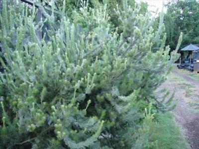 Adenanthos Adenanthos sericeus Australian Native Plants Plants 8007016517