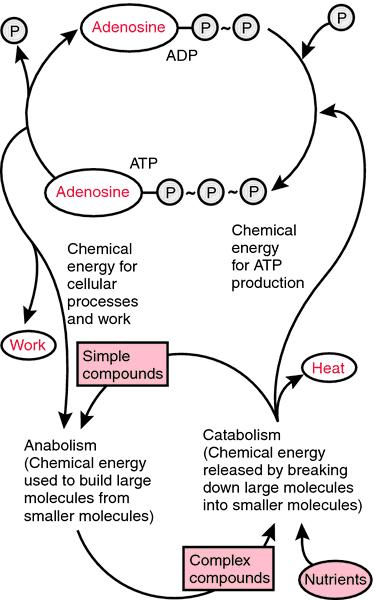 Adenosine monophosphate Adenosine monophosphate definition of adenosine monophosphate by