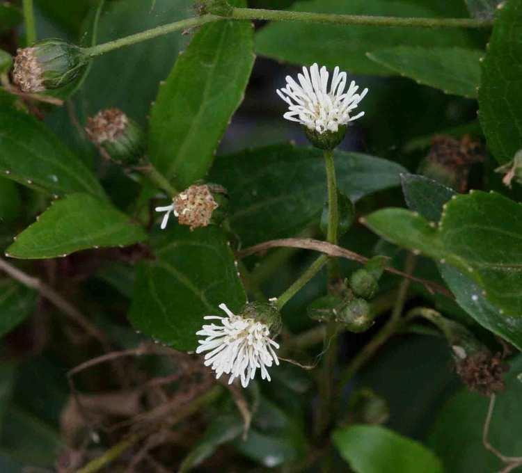 Adenostemma Flora of Zimbabwe Species information individual images