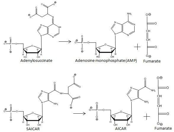 Adenylosuccinate Adenylosuccinate lyase Wikiwand