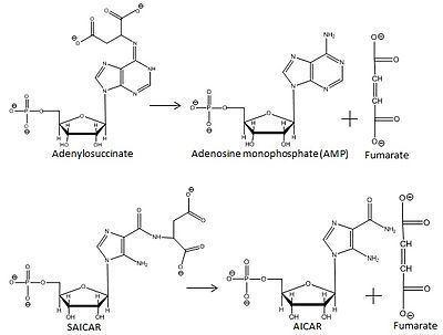 Adenylosuccinate Adenylosuccinate lyase Wikipedia