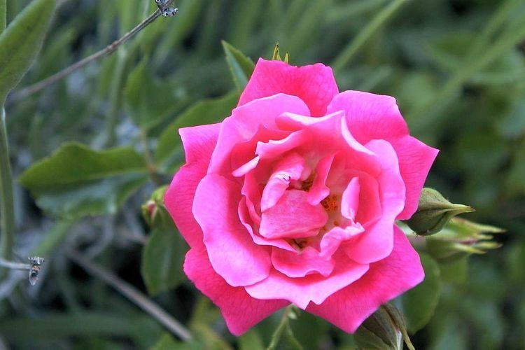 ADR rose