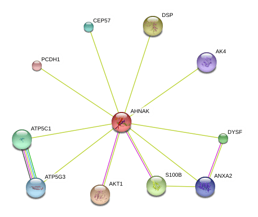 AHNAK AHNAK protein Homo sapiens STRING interaction network
