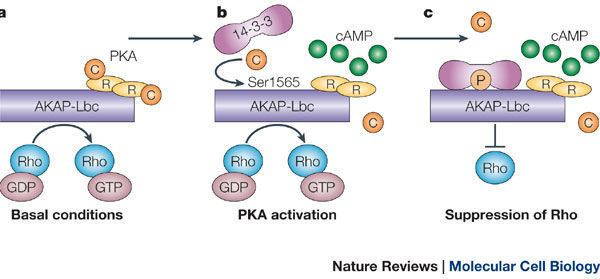 AKAP Figure 6 AKAP signalling complexes focal points in space and time