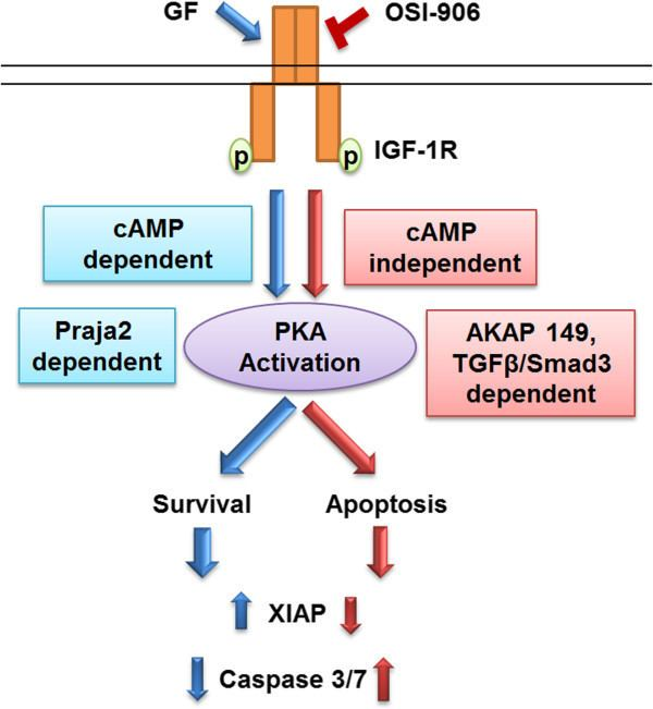 AKAP Differential PKA activation and AKAP association determines cell