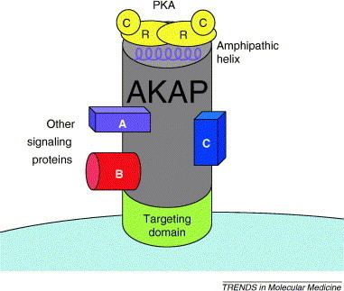 AKAP AKAP signaling complexes getting to the heart of the matter Trends