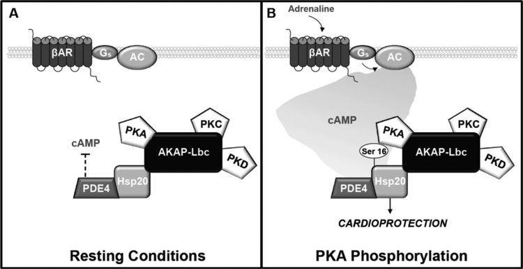 AKAP The Akinaseanchoring protein AKAPLbc facilitates cardioprotective