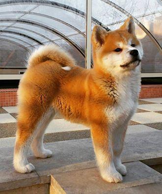 Best 25 Japanese akita ideas on Pinterest Akita Akita puppies