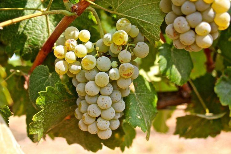 Albariño Varietals 201 Albarino Alvarinho Just Wine