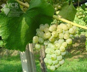 Albariño Albarino Alvarinho Wine Information