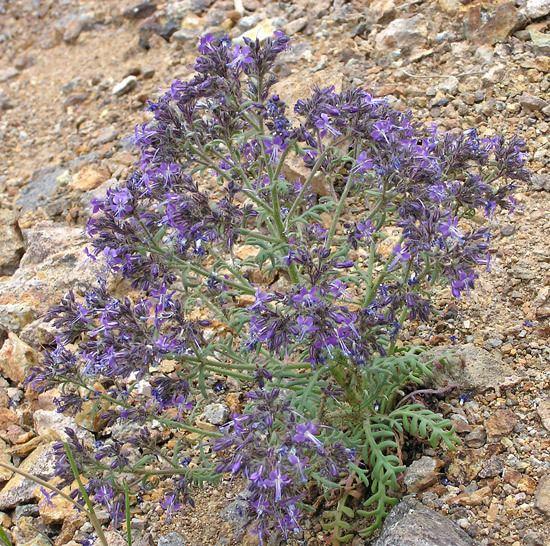 Aliciella Southwest Colorado Wildflowers Aliciella pinnatifida