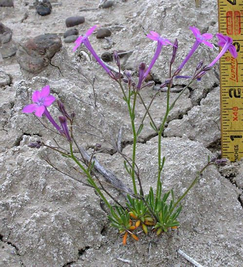 Aliciella Southwest Colorado Wildflowers Aliciella