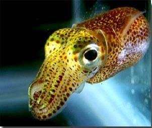 Aliivibrio fischeri httpsmicrobewikikenyoneduimagesdd6Squidjpg