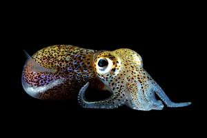 Aliivibrio fischeri Aliivibrio Fischeri and the Role of Quorum Sensing MicrobeWiki
